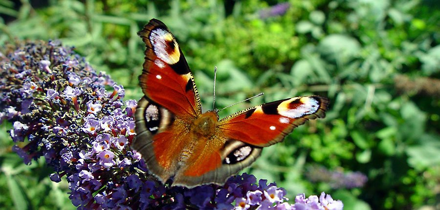 Arobol de la mariposa, buddleja davidii