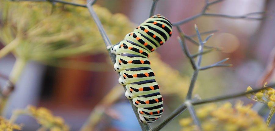 Oruga mariposa caterpillar