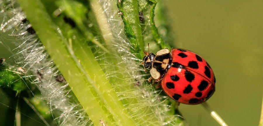 mariquita insecto